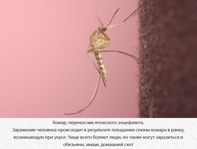 Комар, переносчик японского энцефалита