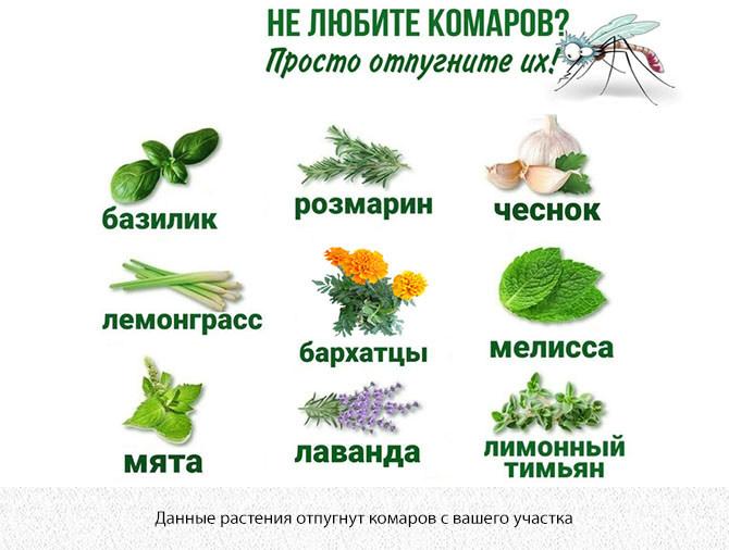Растения, запах которых отпугивает комаров