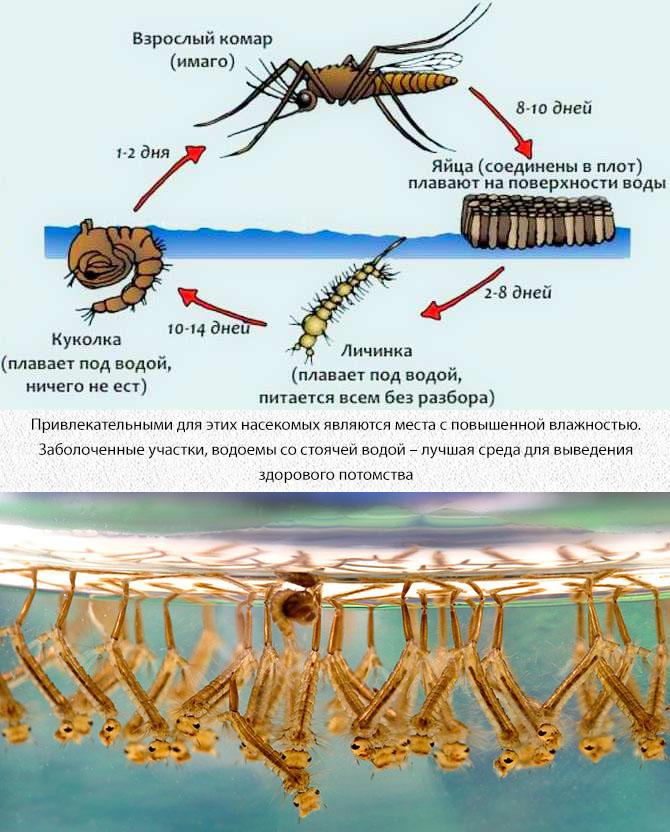Стадии развития комара