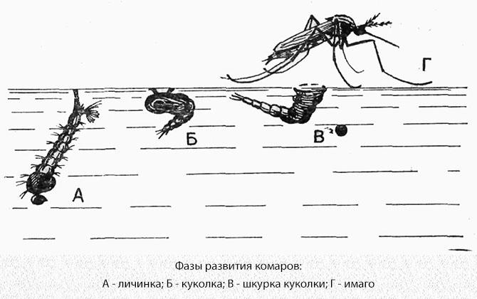 Формы развития комаров