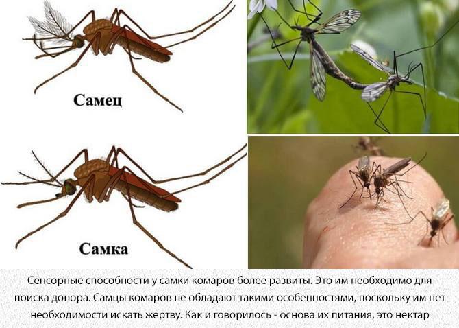 Комариные самец и самка