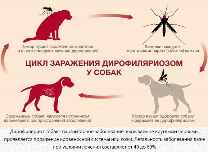 Дирофиляриоз собак от укуса комара