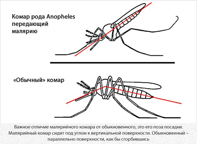 Отличие малярийного комара от обыкновенного
