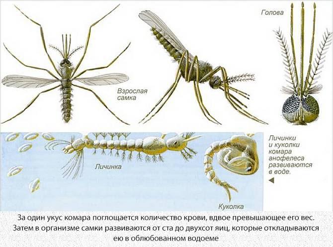 Личинка и имаго малярийного комара