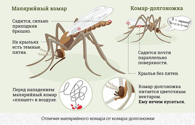Отличия малярийного комара и комара-долгоножки