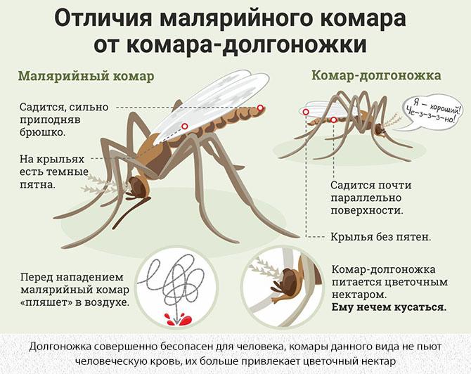 Отличия малярийного комара от комара-долгоножки