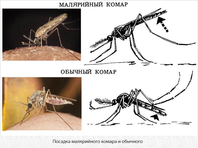 Отличия в посадке малярийного комара и комара-долгоножки