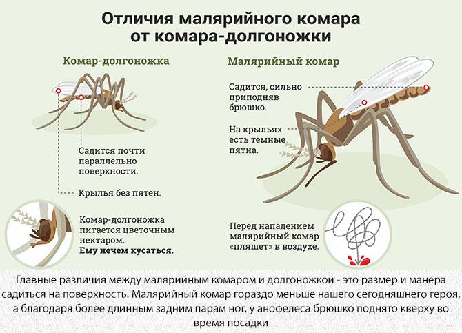 Отличие долгоножки от малярийного комара