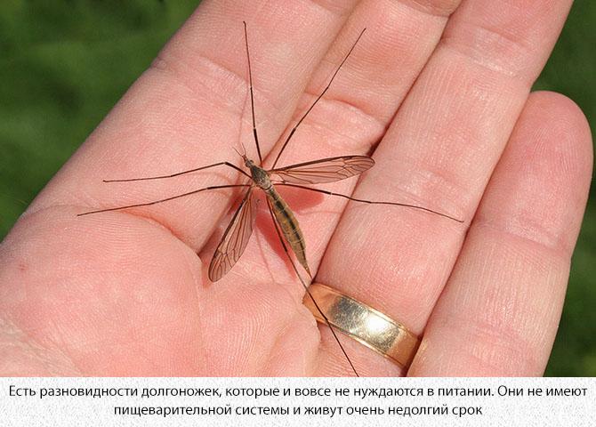 Комар карамора