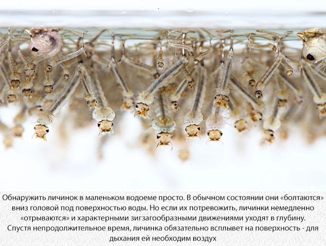 Личинка комара в воде