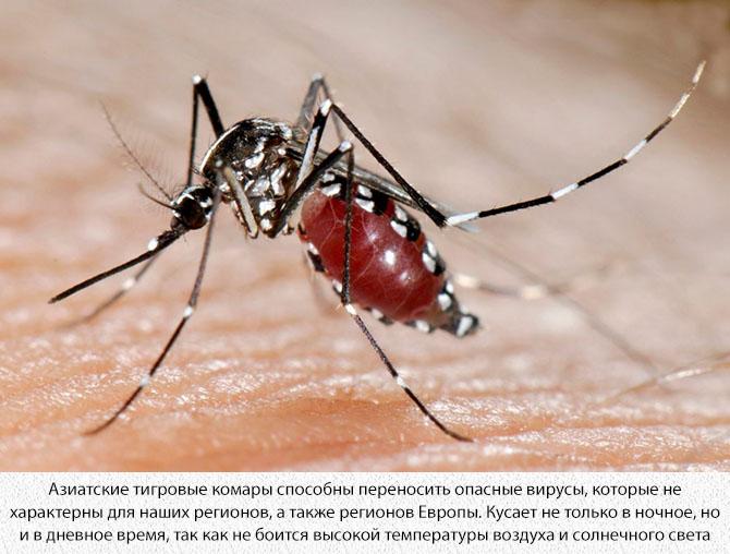 Полосатый азиатский комар