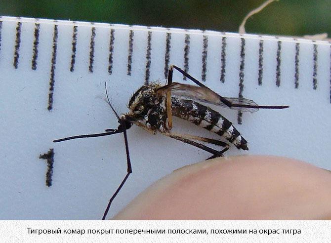 Азиатский тигровый комар